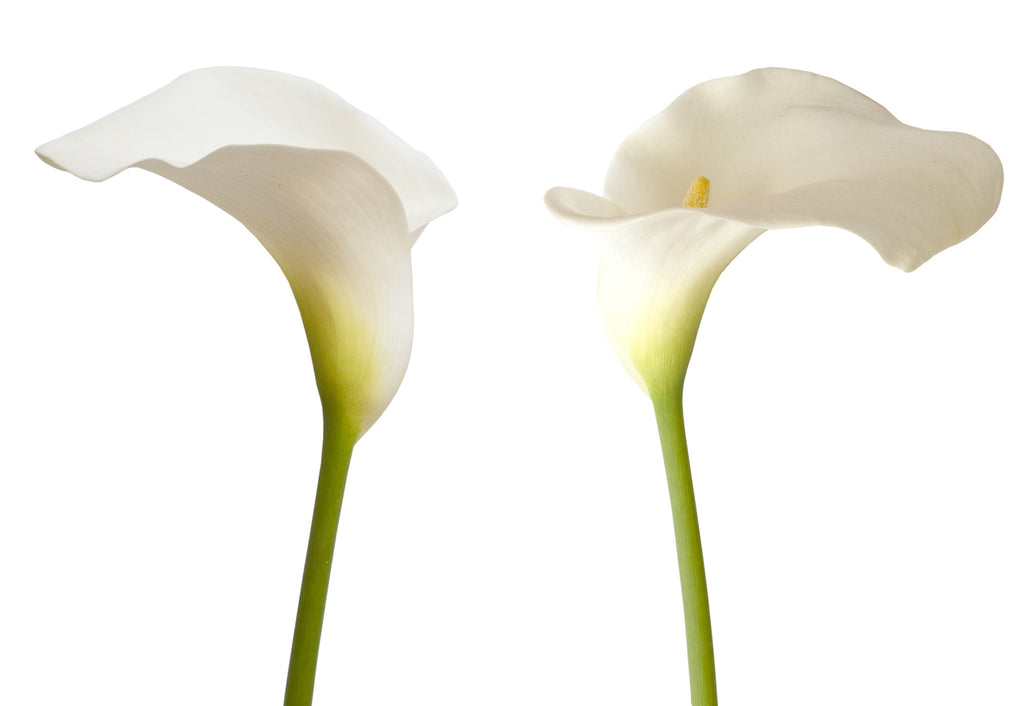 Mini Callas White - BloomsyShop.com