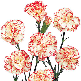 Mini Carnations Bicolor White and Red - BloomsyShop.com