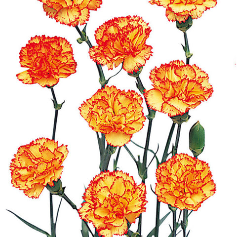 Mini Carnations Bicolor Yellow and Red - BloomsyShop.com