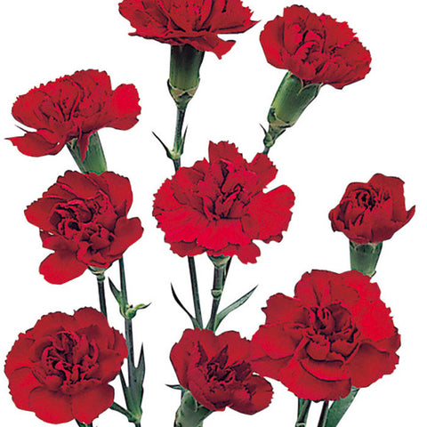 Mini Carnations Burgundy - BloomsyShop.com