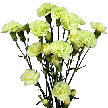 Mini Carnations Green - BloomsyShop.com