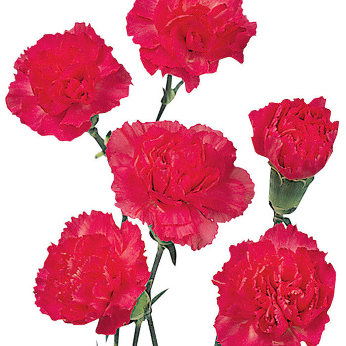 Mini Carnations Hot Pink - BloomsyShop.com