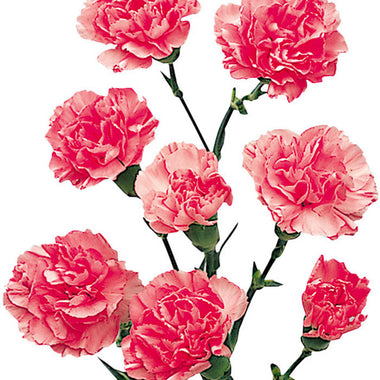 Mini Carnations Light Pink - BloomsyShop.com