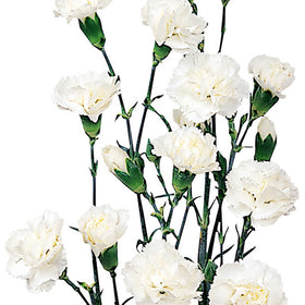 Mini Carnations White - BloomsyShop.com