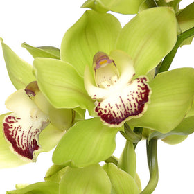 Cymbidium Orchids Green - BloomsyShop.com