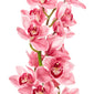 Cymbidium Orchids Pink - BloomsyShop.com
