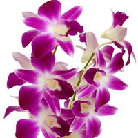 Dendrobium Orchids Bicolor Purple/White - BloomsyShop.com