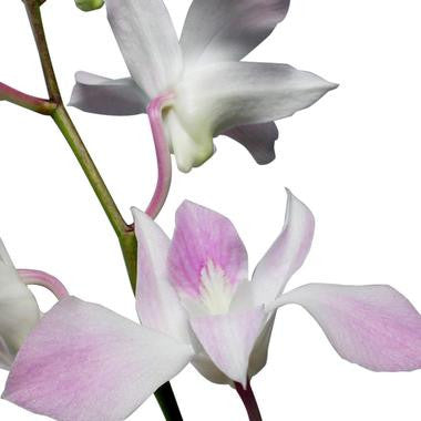 Dendrobium Orchid Light Pink