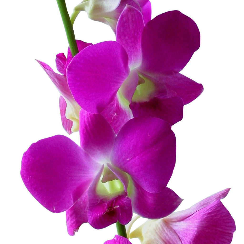 Dendrobium Orchids Pink - BloomsyShop.com