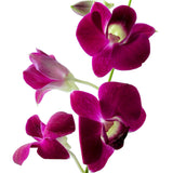 Dendrobium Orchids Purple - BloomsyShop.com