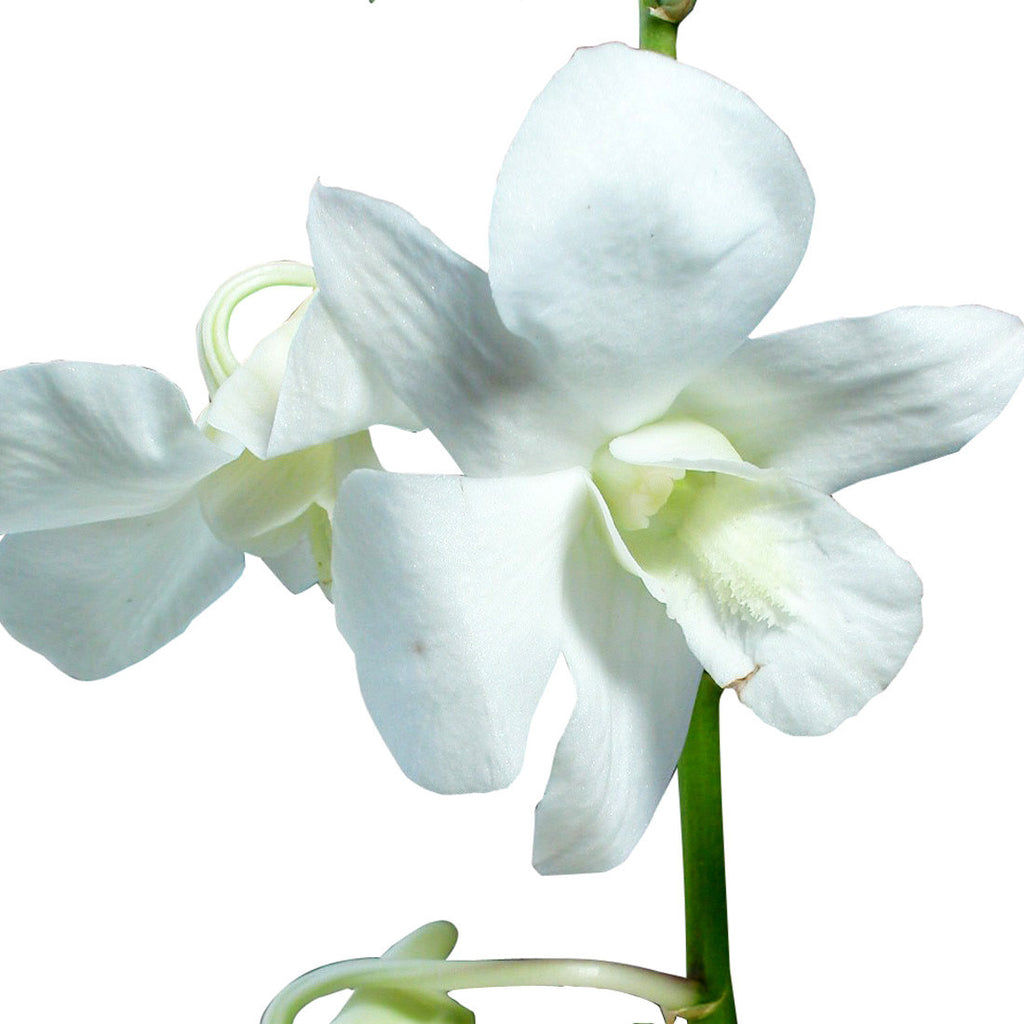 Dendrobium Orchid White - Wholesale Orchids ...