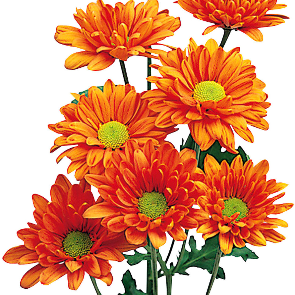 Pom Poms Daisy Orange - BloomsyShop.com