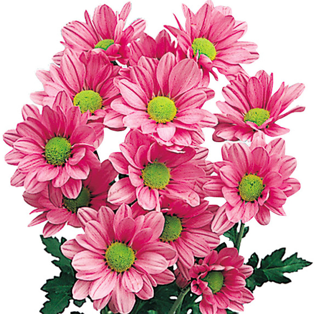 Pom Poms Daisy Pink Wholesale Chrysanthemums Theflowerexchange