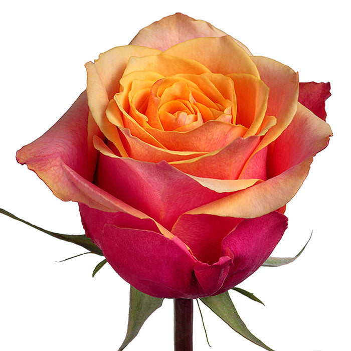 Roses Bicolor Orange Cherry Brandy - BloomsyShop.com