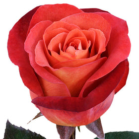 Roses Bicolor Orange Coffee Break - BloomsyShop.com