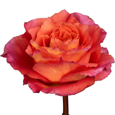 Roses Bicolor Orange Free Spirit - BloomsyShop.com