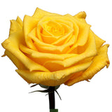 Roses Yellow Gold Star