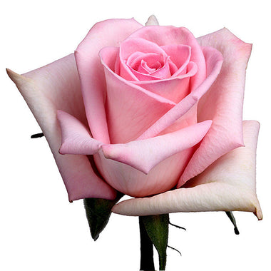 Roses Light Pink Katharina