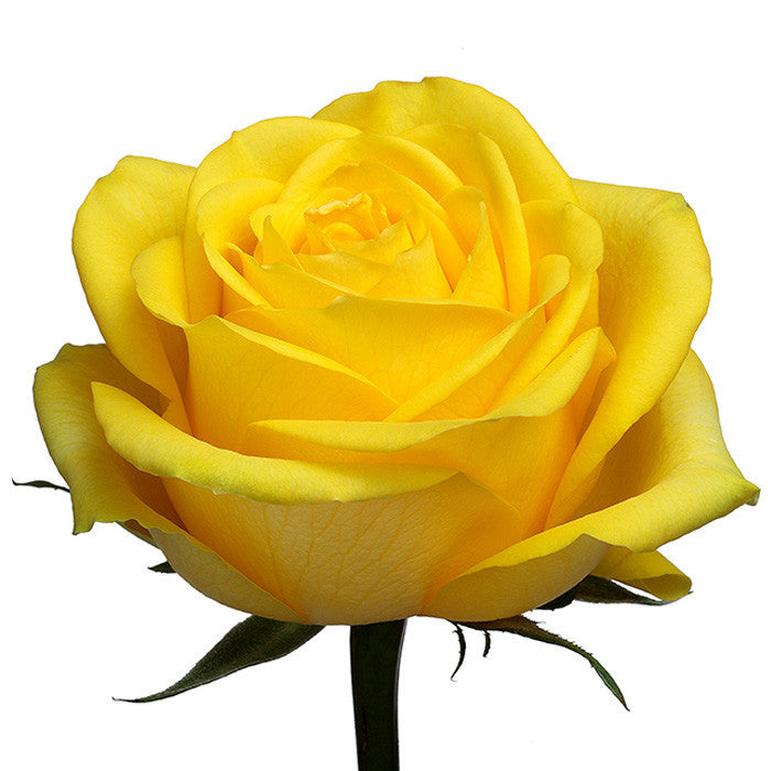 Roses Yellow Latina