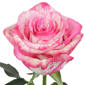 Roses Novelties Magic Times