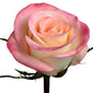 Roses Novelties Marylin