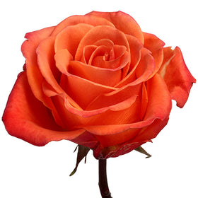 Roses Orange Orange Crush