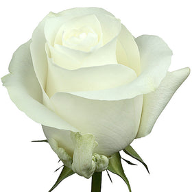 Roses White Proud