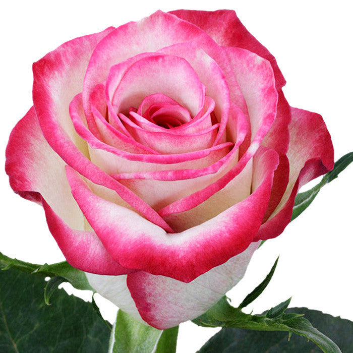 Roses Bicolor Pink Raspberry Ice - BloomsyShop.com