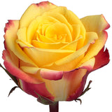 Roses Bicolor Yellow Salambo - BloomsyShop.com