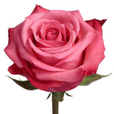 Roses Bicolor Pink Satina - BloomsyShop.com