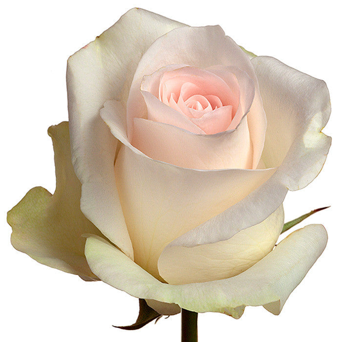Roses Light Pink Senorita