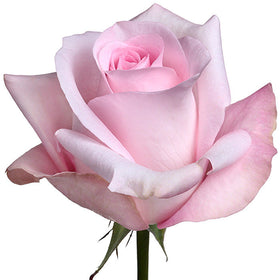 Roses Light Pink Sweet Akito