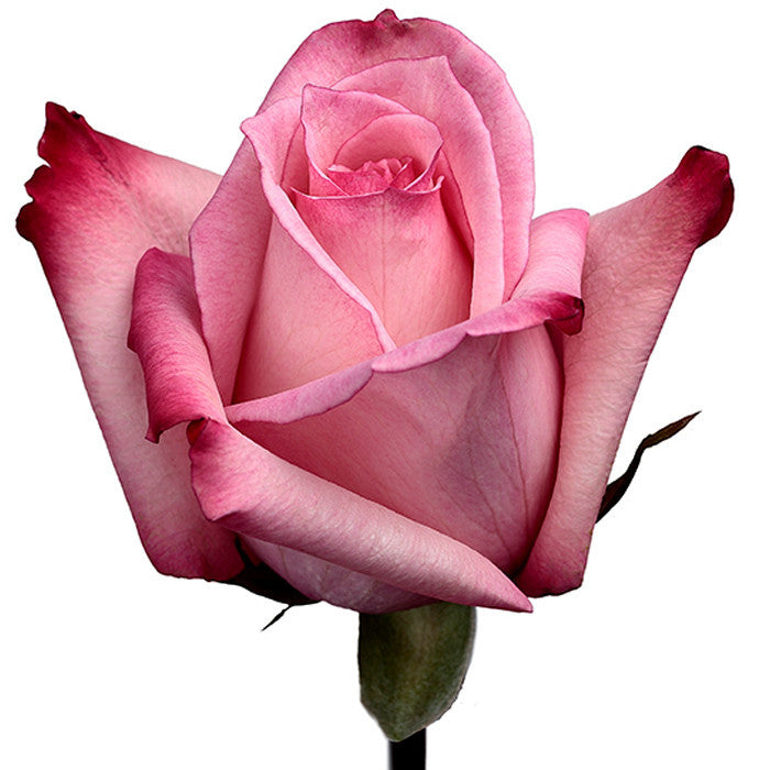 Roses Bicolor Pink Vogue - BloomsyShop.com