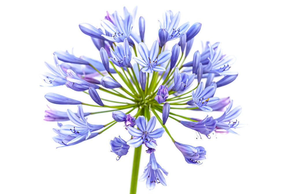 Agapanthus Blue - BloomsyShop.com
