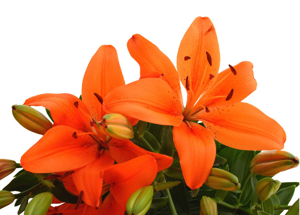 Asiatic Lilies Orange