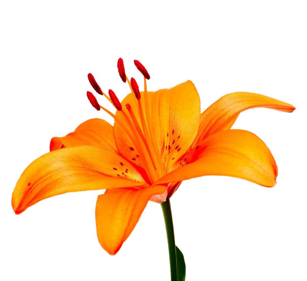 Asiatic Lilies Orange - BloomsyShop.com
