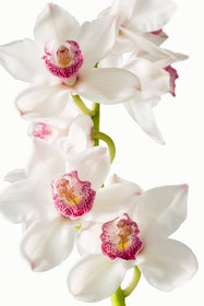 Cymbidium Orchid White