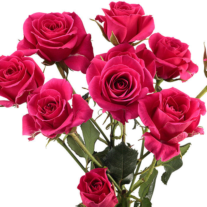 Spray Roses Hot Pink