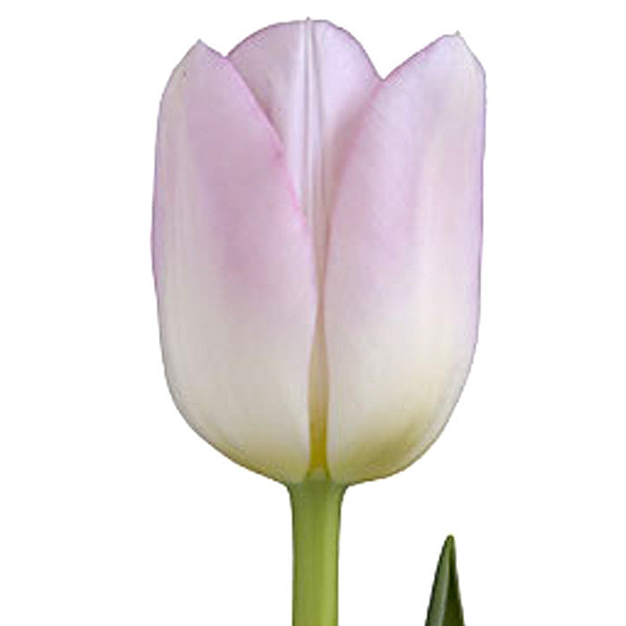 Light Pink Tulip - BloomsyShop.com