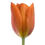 Orange Tulip - BloomsyShop.com