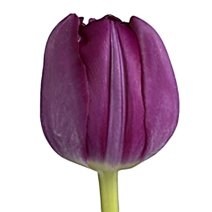 Purple Tulip - BloomsyShop.com