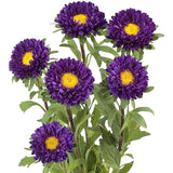 Aster Matsumoto Purple - BloomsyShop.com