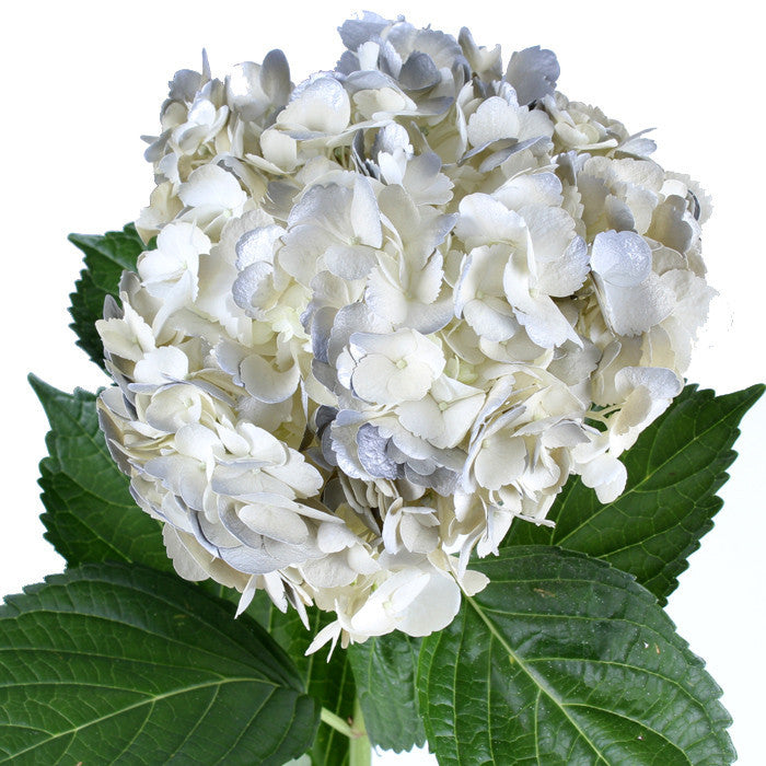 Hydrangea Airbrushed Antique Silver