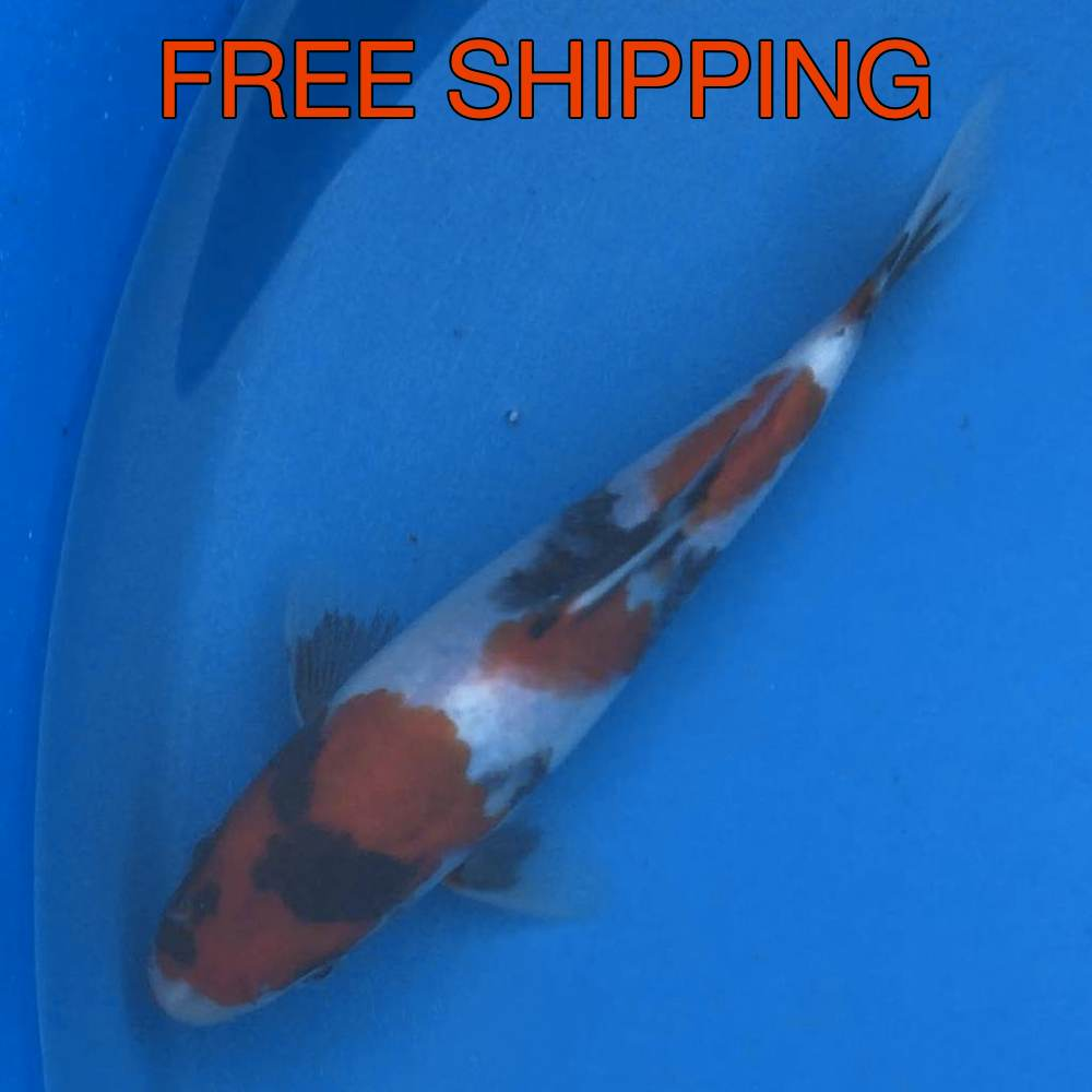 Free Shipping to your Door - Showa 7""