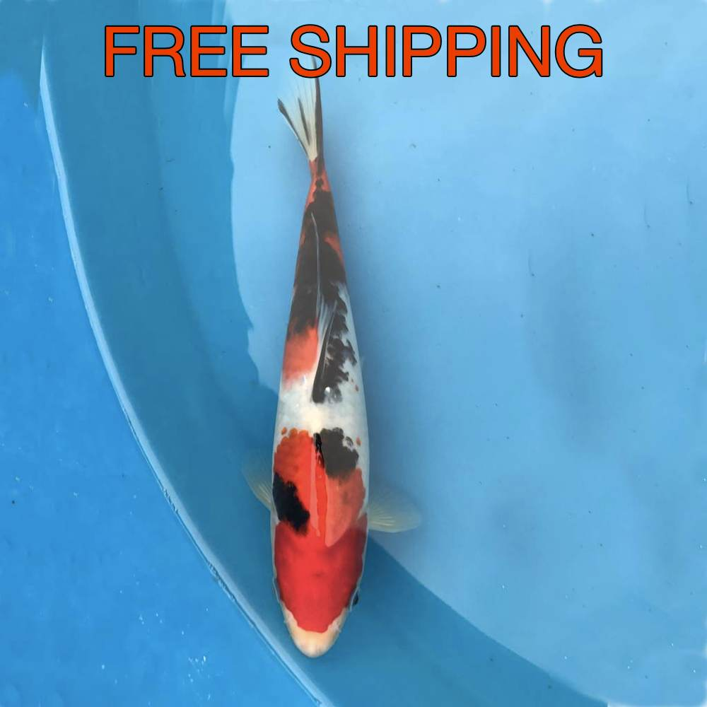 Free Shipping to your Door - Sanke 8""