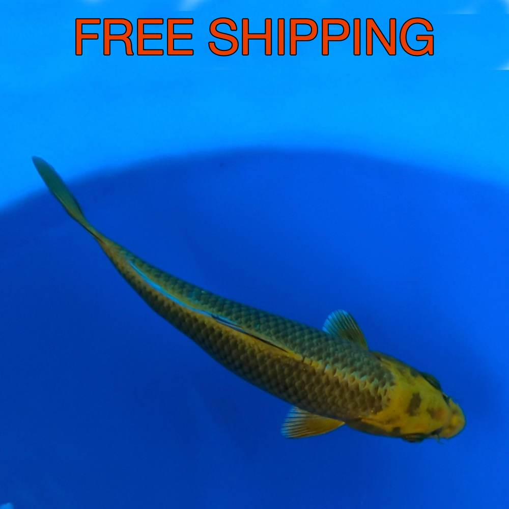 Free Shipping to you Door - KABUTO 9""