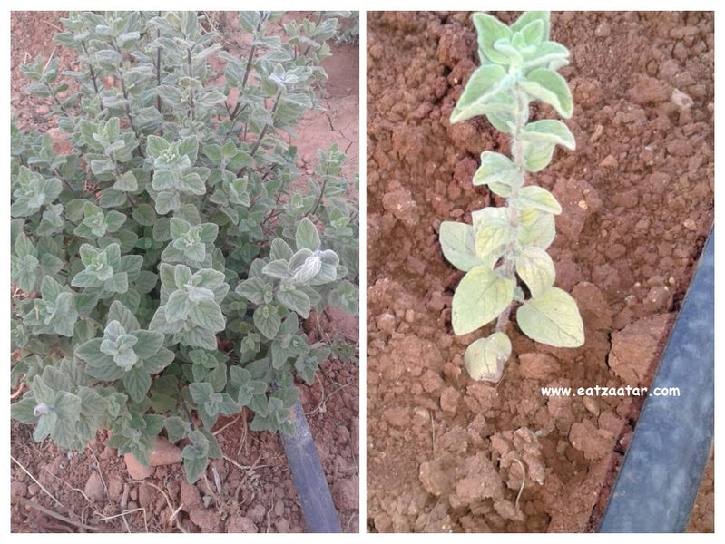 Identification of biblical hyssop and origin of the traditional oregano-group herbs in Mediterranean region