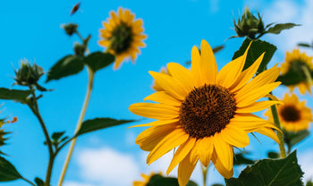 Why We Love Sunflower Seeds - Health Benefits