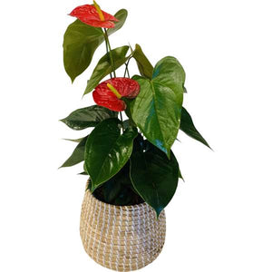 ANTHURIUM RED HEART POTTED