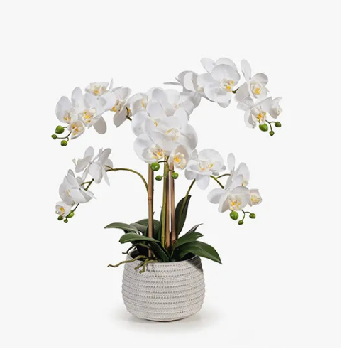 Orchid Phalaenopsis White in Pot